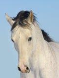 Stallion arabo Immagini Stock Libere da Diritti