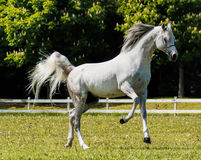 Stallion arabo Fotografia Stock Libera da Diritti