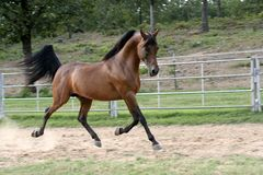 Stallion arabo Immagine Stock