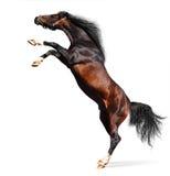 Stallion arabo della castagna Fotografia Stock Libera da Diritti