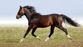 Stallion arabo della dapple-castagna Fotografia Stock