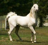 Stallion arabo grigio Immagini Stock