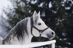 Stallion arabo grigio Fotografia Stock Libera da Diritti