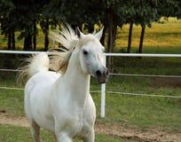 Stallion arabo grigio Immagine Stock Libera da Diritti