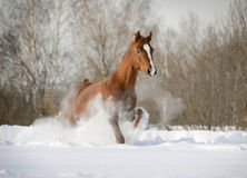 Stallion arabo in neve Immagine Stock