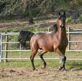 Stallion arabo Prancing Fotografia Stock Libera da Diritti