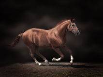 Stallion Royalty Free Stock Photography