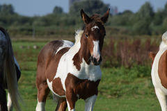 Stallion Royalty Free Stock Photos