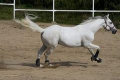 Stallion bianco fotografia stock libera da diritti