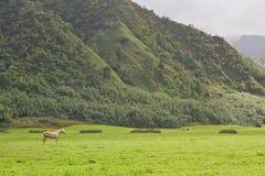 Stallion bianco nel campo verde Fotografia Stock Libera da Diritti