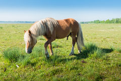 Stallion with blonde manes and tail. Male horse walking on grass and rushes in the spring season Stock Images