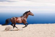 Stallion Cantering della baia Fotografie Stock Libere da Diritti