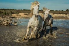 Stallion Chase Stock Image