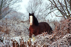 Stallion Clydesdale horse breed Stock Images