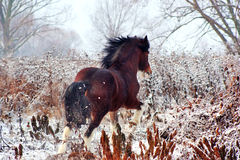 Stallion Clydesdale horse breed Royalty Free Stock Images