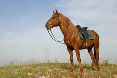 Stallion del Brown immagini stock