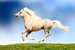 Stallion del cavallino di lingua gallese Fotografia Stock Libera da Diritti