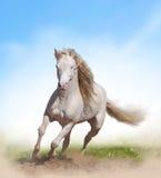 Stallion del cavallino di lingua gallese Fotografie Stock Libere da Diritti