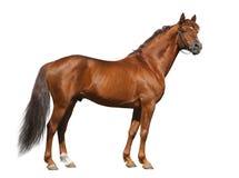 Stallion del Don dell'acetosa isolato su bianco Immagini Stock Libere da Diritti