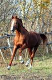 Stallion del Thoroughbred Immagine Stock Libera da Diritti