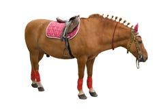 Stallion dell'acetosa Fotografia Stock