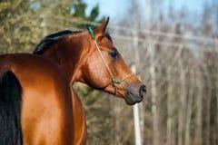 Stallion dell'Arabo della baia Fotografia Stock