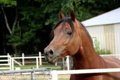 Stallion dell'Arabo della baia Fotografie Stock Libere da Diritti