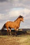 Stallion della baia Immagini Stock