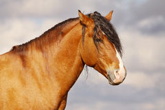 Stallion della baia Fotografie Stock