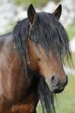 Stallion della baia Fotografia Stock