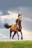 Stallion della baia Fotografia Stock Libera da Diritti