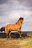 Stallion della baia in autunno Immagine Stock