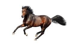 Stallion della baia isolato Fotografia Stock Libera da Diritti