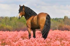 Stallion della baia sul campo dentellare Immagini Stock