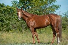 stallion della castagna Fotografia Stock Libera da Diritti