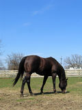 Stallion della castagna Immagine Stock