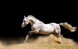 Stallion, der sich vorwärts bewegt Lizenzfreie Stockfotos