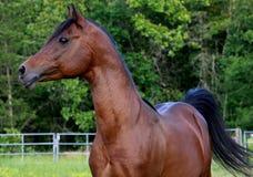 Stallion di Arabain della baia Fotografia Stock Libera da Diritti