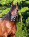 Stallion di Arabain della baia Fotografia Stock