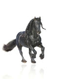 Stallion di Frisian isolato Fotografia Stock Libera da Diritti