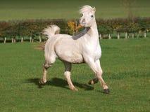 Stallion di Lingua gallese Immagini Stock Libere da Diritti