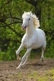 Stallion di Orlov Fotografie Stock Libere da Diritti