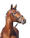 Stallion di razza isolato su bianco Fotografia Stock