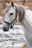 Stallion di Tersk Fotografia Stock