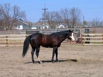 Stallion di tobiano della baia Fotografia Stock Libera da Diritti