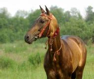 Stallion dorato del akhal-teke Immagine Stock
