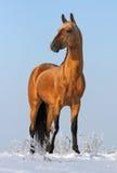 Stallion dorato del akhalteke Fotografia Stock