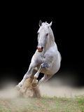 Stallion in dust. On a black background Royalty Free Stock Photo