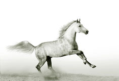 Stallion in dust Royalty Free Stock Photo