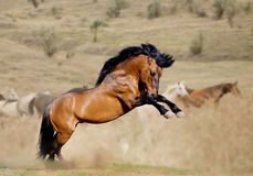 Stallion in dust Royalty Free Stock Photography
